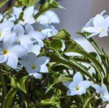 Madeira- parfum de iasomie